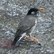 川辺にオレンジ色のくちばしの鳥がいました。  この鳥は何という鳥でしょうか?