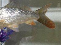 鯉なんですけど、ヒレの先のオレンジっぽいのは単なる模様なのか それともなにかの病気ですか?もう1年以上飼ってますが元気ではあります。