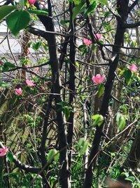通りかけで見つけた木ですが、大きな棘があります。赤い花ちらほら咲いてます。なんという木でしょうか?