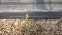 アスパラを奈良の平坦地でハウス栽培しています。 定植3年目で品種はウェルカムです。 元々は水田だった場所ですので水はけはそれほど良くないと思います。 灌水は今の時期は3日に一度くらい してます。 生えてきたアスパラは順次収穫してるのですが頭の部分が白く枯れたようになっているものが非常に多いです。写真を添付しておきます。 後は曲がりくねった状態で伸びたりするものも多いです。 全体の...