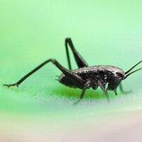 画像の黒い昆虫の名前を教えてください。