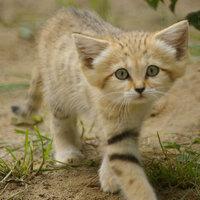 犬の希少種よりも猫の希少種の方が圧倒的に多い。  これ知ってますか?↓砂漠に適応したスナネコ。めっちゃかわいい。