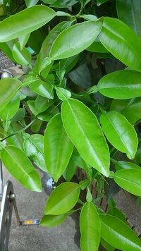 この植物は金柑でしょうか?? 10年以上実がまったくならないので違う植物なのかどうか教えて下さい!