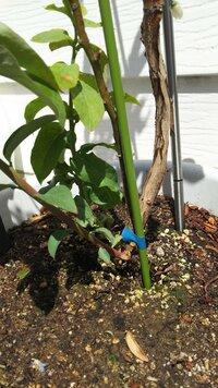 プランターてブルーベリー育ててます。  この根本から生えてるのはシュートですか? とても大きくなってしまい、今は5月で暑いので切ってもいいのか迷ってます。