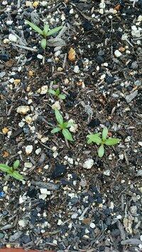 何の芽か分からないのですが、花壇からいくつも生えてきています。 そういえば3月頃に、貰った種を植えたのですが、もう生えて来ないと思い、種の袋を捨ててしまったのです。 なので、その時 の花なのか、ただの雑草なのか分からずにいます。 この芽から植物名がわかる方が居ましたら、よろしくお願いします。