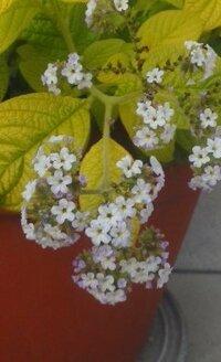 植木鉢に咲く背丈15cmくらいの薄紫色の小さな花の植物の名前をおしえてください。