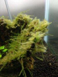 はじめまして  12L水槽にミナミヌマエビ5匹とウィローモスを飼育していますが ウィローモスに藻? のようなものが付き ノロウィルス(水2500ml:キッチンハイター40ml)しましたが あまり効果がありません。  この様な場合はどのように藻を除去すれば良いでしょうか? お願いします。