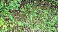 苔と雑草についての質問です。 なかなか手が出ずしばらく放置したら、写真の様に雑草の庭になってしまいました。という事で、苔を残して雑草だけ取る方法を思案中です。手とピンセットでは手が出ませんが、例えば、遮光率の高い透水性のシートでしばらくカバーする方法はどうでしょうか。ほぼ日陰をつくれば苔は残り、雑草は消滅するのではと。適当なシートが有るかもこれからですが、そんな都合のいい話は無理でしょうか。...