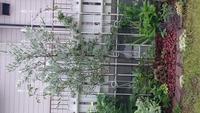 オリーブの木の樹形作りについて 庭になにも考えずに植えたオリーブの樹形が最近気になります。  かなり地に近いところから太い枝が2本でていますが今から主軸となる1本のみにするた低い位置から出ている太い2本の枝はカットしても大丈夫でしょうか?  カットする際の注意事項も教えてくださると助かります。    見辛いですが画像を貼りますのでお願いします。