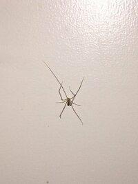 この虫は、ザトウムシとイエユウレイグモ、どちらですか?