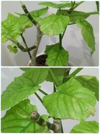 ウンベラータの葉の色が薄いのですが、何が原因でしょうか? 今まで付いていた葉は枯れ落ち、少し剪定して沢山の新しい葉が生えてはきているのですが、色が薄い黄緑色になっています。 (写真よりも実物の方が、もう少し色が薄いです)  新芽はどんどん出ているので、何が原因なのでしょうか?