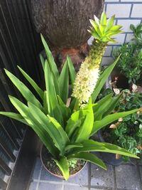 貰い物の植物?なんですがこれは何て言う名前の植物でしょうか?見た事もなければ検索したくてもかけれません…分かる方宜しくお願いします。