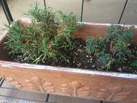 マーガレット花が終わった後 木質化もしてます。このあとどのようにしてあげるのが良いでしょうか? 枯れた葉はなるべく取るようにしています。 置き場は明るい軒下です。宜しくお願いいたします。