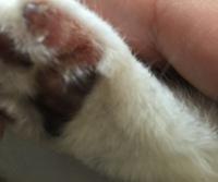猫の足の毛が一部無くなっています。  画像のように毛がありません。 何が原因なんですか?後日病院に行く予定なんですが、不安で仕方ありません。