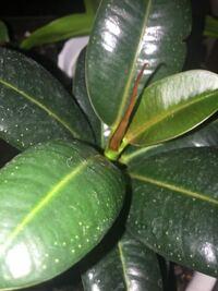 ゴムの木の新芽が、赤く変色しています。 何が原因ですか? ご存知の方、よろしくお願いします