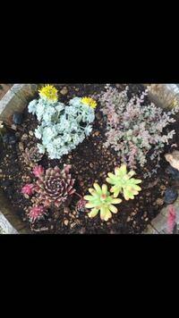 初めて投稿いたします。 いただきものの多肉植物4種の名前を教えていただきたいです。 そろそろ涼しくなってきたので鉢を植え替えをして上手に育ててあげられたらなぁと思っています。  写真は春先の様子で花が咲いているものもあります。  特徴 右上→小粒の葉っぱ、少し白っぽい。 左上→中くらいの葉っぱの大きさ少し肉厚、白っぽい。黄色い花が咲いた。 右下→とっても肉厚な葉っぱ、春先は葉先が赤く、綺麗な...