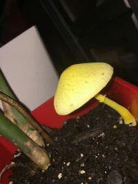 モンステラの鉢植えに一緒に生えていたのですがこのキノコはなんですかね?若干光っている?感じなのですが…たべれますか?