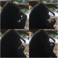 昨日上野動物園に行ったら、ゴリラが反芻動物的に吐いてはまた食べてを3度繰り返していました。ゴリラってそういうものなのですか? 今までの知識にはない事なので、驚いています。