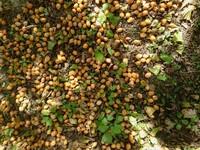 銀杏の果肉の簡単な処理方法を教えてください。 我が家の庭に大量100キロ位の銀杏が落ちています。果肉を処理して乾燥させてから御裾分けしようと考えています。この量を簡単に処理する方法を教えてください。