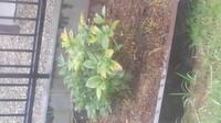 庭の芍薬が花が咲きません。  去年購入し、庭に花壇を造り植えたのですが、 今年の春、花がさきませんでした。  何が咲かない原因なのでしょうか?  花壇は、花と野菜用の腐葉土を入れて 花壇にし、去年秋...