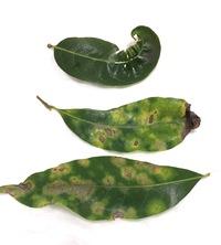 シラカシの一部の葉が病気のようです。それぞれ症状が違うのですが、何という病気なのでしょうか。 写真の中で下の2枚は同じ症状です。