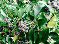 これはクロガネモチの木の葉でよろしいですか?  前に一度、葉の写真で質問しましたが、今度は木の実がなっている写真を撮影しましたのでこれを添付します。  撮影日、福岡県の今日  よろ しくお願いします。