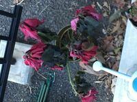 ポインセチアが枯れました、、、 もうこの状態になると捨てるしか無いでしょうか、、 ???来年また咲きますか???