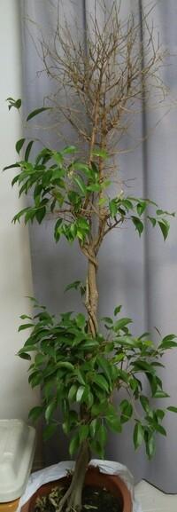 ベンジャミンの仕立て直しについて  花屋さんで格安になっていたベンジャミンの鉢植えを購入しました。 家に持ち帰ってからよく見ると、真ん中の木が枯れているようです。 真ん中の木に巻き つけてある、細い...