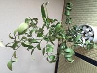 12月頃頂いた観葉植物のナギが干からびています。 ネットで調べて良くわからなかったので、詳しい方教えて下さい。 頂いた時は綺麗な緑色でみずみずしい葉だったのが、写真のように葉がくるく ると巻いてきて触るとカサカサと干からびています。 これからどのようにすればいいか教えて下さい。