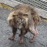 滋賀県:周囲に緑の多い住宅地付近で散歩の途中で すれ違ったこの動物はなんでしょうか? 胴の毛並みはタヌキに似ています。 目の周りや尻尾が皮膚病らしく剥げていて、 タヌキの特徴が、確認できません。 身体は猫ぐらいでタヌキにしてはずいぶん小型です。  警戒はしていましたが、逃げないですれ違った後 男性が庭に出ていた民家に入って行ったので 餌づけしているのかもしれません。