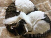 うちのオス猫が写真のように、メス猫の首に手をまわして抱きつくようにする事があります。 これってどんな意味があるのでしょうか? ギュって両方の前足で抱きついてるんです。 他の猫さんもやりますか? かわいいのですが、うちの場合、オス猫しかやらないので何か意味があるのかなと。 ちなみに兄妹です。  子猫の時から仲良しで、行動もよくシンクロします。 今は1歳ちょっとです。 避妊、去勢済みです。 喧嘩...