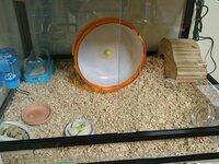 ハムスターが巣箱から出てこない時の巣箱内の掃除について。   前回の質問では大変お世話になりました。 おかげでジャンガリアン♂も元気に動き回っています。 またも長文での質問失礼します。 このたび生後一ヶ月未満のゴールデンハムスター♀をお迎えし、7日経ちました。 が、巣箱から出てこず、掃除ができません。  ケージは60×45cmの爬虫類ケージで、ジャンガリアンのケージを置いてい...