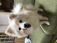 私の飼っている犬は本当にポメラニアンでしょうか? ポメラニアンで画像検索してもあまり似たような犬が出て来ませんが、日本スピッツで検索すると同じような見た目の犬がたくさん出て来ます。 どちらにしても愛しているのには変わりはないですが。 ペットショップで飼いました。 血統書では、祖先はすべてポメラニアンなので純ポメだと思うのですが、、、 識別は曖昧なんでしょうか