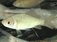 この魚の種類を教えて下さい。     近くの小川(用水路)で捕まえました。   一緒にモツゴ、タモロコ、ヨシノボリもいました。 大きさは3cmくらいで、模様は特になく、体型はモツゴやタモロコなどに比べて...