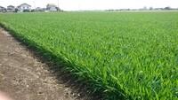 高崎市を歩いていたら、広大な畑にこのような苗?のようなものがびっしり植わっていました? 何だかわかる方いらっしゃいますか?