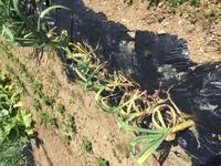 ニンニクの収穫時期にしてはまだ早いと思うのですが、ニンニクの元気が無くなって来たようです。 これはもうそろそろ収穫時期するべきでしょうか? 花芽を摘んでから1週間を目安に収穫と言う のも見たことがあるのですが、花芽自体まだ出て来ていません。