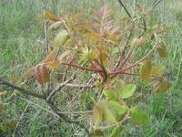 たらの芽のような木が川にいっぱい生えてました。  なんですか?