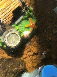 メダカのビオトープ。 こんにちわ٩( 'ω' )و屋外でビオトープをやってるものです。先日ビオトープにいるヤマトヌマエビの抜け殻?を発見しました。すぐに撤去しましたが、今朝また抜け殻?がありました。ヤマトは...