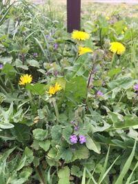 写真の紫色の花をつけた植物の名前を教えてください! ゴマノハグサ科だと思うのですが、立ち上がって生えており、葉っぱの形からツタバウンランともトキワハゼともムラサキサギゴケとも違うようで… どうぞよろしくお願いいたします。