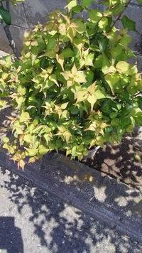 この樹木の名前を教えて下さい。また肥料、剪定の適期など手入れのポイントもご教示頂ければ幸いです。よろしくお願いいたします。