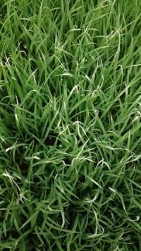 水稲について質問です 今年初めて育苗をすることになりました...  写真の通り葉先が薄茶色っぽくなりました  茶色というかは白ですかね...!?  これは何が原因なんでしょうか?
