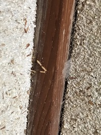 事情があり、築45年ほどの古民家に住んでます。 蛾や蛾の虫やわけのわからない虫までたくさんいますが、つい先程トイレにこんな白の虫がいました、、 これは何の虫ですか?この家から虫を除去 するほうほうはな...