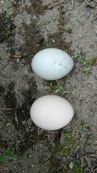 家の庭に卵が転がっていました。 庭は柵がしてあり、家の中からしか出入りできないようになっています。 上が転がっていた卵で、下が比較のためにおいた鶏の卵Mサイズです。 少しさわってみ ると鶏の卵のように固く感じました。家族の間では蛇の卵じゃないかと話していますが、一体なんの卵でしょうか、、、?