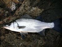 スズキは出世魚ですがヒラスズキは出世できないんですか??