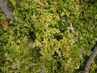写真の黄色くなった草の名前がわかったら教えて下さい。 (緑の葉はコナスビです) 造成後に発芽して、今まで旺盛に繁茂しても草丈は伸びず、芝の代わりに使えるかと思って期待していたのですが、ここへきて勢い...