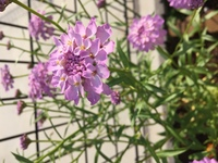 この花の名前を教えてください。 カネコ種苗のミックスフラワー ロータイプを買って植えたのですが、どれだかわからなくて…