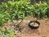 半地植えについて教えてください 自分は半地植えというのは、鉢植えと地植えの中間的な感じで、鉢ごと地面に埋めることで鉢の温度上昇の抑制、地面からの水分や養分の吸収(水やりなどの軽減)、と地植えの恩恵を多少うけながら冬前の室内取り込みの容易さがメリットだと思っていまして、鉢の中の土と同じくらいの高さまで地面に埋めていましたが、それでは深く埋めすぎで水はけが悪く根腐れしてしまうし、この状態は半地植...