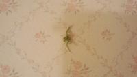 この生物(蜘蛛だと思うのですが)の名前を教えてください。写真が反転していますが…。