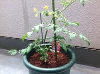 ミニトマトの苗を初めて育てています。  シュガープラムとゆう種類です。  大苗と書いてあります。  買って来てから一週間経ちました。 下の方に葉っぱがたくさん付いているのと、  実がなっていますが、...