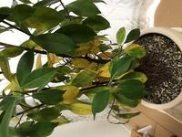 ガジュマルの葉が黄色く変色し始めました。  先週末くらいから急にガジュマルの木の下中央辺りの葉がかなり広い範囲で黄色くなり始めました。まだ茶色くなって枯れたという葉はありません。 原因がわからないのでここ最近の管理の状況を書きます。 どなたか原因と解決法が分かりましたら教えてください。  関東在住です。 朝出勤前にベランダに出し、夜室内に入れています。(冬は外に出していません。部...
